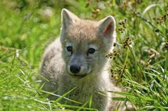 An poster sized print, approx (other products available) - Arctic Wolf Pup lying in green grass looking off to the left. - Image supplied by Fine Art Storehouse - poster sized print mm) made in Australia Rare Animals, Strange Animals, Wild Animals, Arctic Wolf, Wolf Pup, Beautiful Wolves, Pet Rats, White Wolf, Canvas Prints