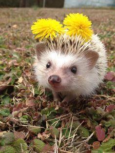 hedgehog adoreble