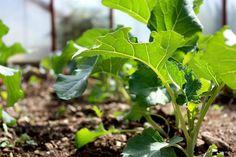 Broccoli: Healthful and Very Easy to Grow
