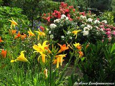 Taglilien  Garden lillies