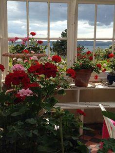 Sunny geraniums