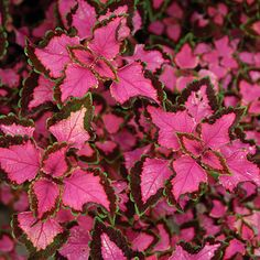 """coleus """"Trailing bleeding heart"""".  Give lots of water if in a window box; use crystals."""