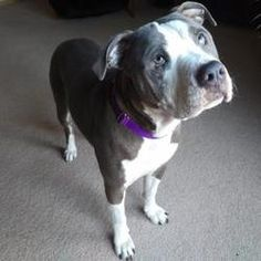 Pictures of Blinky a American Pit Bull Terrier for adoption in Lowell, IN who needs a loving home.