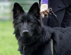 My BEAUTIFUL Dog- Long Hair Black German Shepherd... he looks almost identical to my Ares