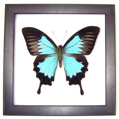 Giant Blue Swallowtail: Black Frame - insect series
