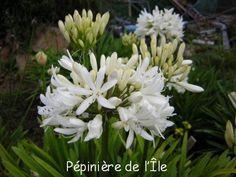 Agapanthus Stephanie Charm Pépinière de l'Ile -- Ile de Bréhat