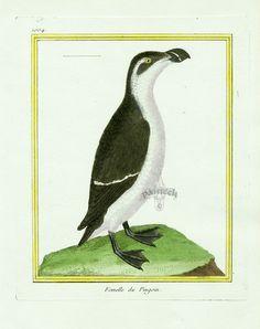 Martinet c1770's: Femelle du Pingouin Razorbill female