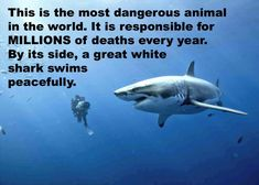Das ist das gefährlichste Tier auf Erden. Es ist Jahr für Jahr für Millionen Tote verantwortlich. Neben ihm, rechts im Bild, schwimmt  friedlich ein wunderbarer Weißer Hai.