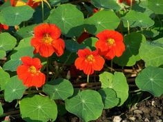 Information about the Garden Nasturtium ( Indian Cress, Monks Cress ) including its habitat, latin name, description, medicinal actions and uses. Learn about the health benefits of Garden Nasturtium. Nasturtium, Edible Plants, Planting Flowers, Plants, Edible Flowers, Edible Wild Plants, Plant Design, Flowers, Benefits Of Gardening