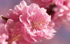 blossom 1920×1200