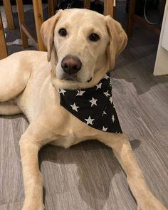How To Look Handsome, Black Star, Dog Bandana, Labrador Retriever, Cute, Pictures, Animals, Instagram, Labrador Retrievers