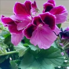Kikiliakii neuloo - Vuodatus.net - Rose, Flowers, Plants, Pink, Plant, Roses, Royal Icing Flowers, Flower, Florals