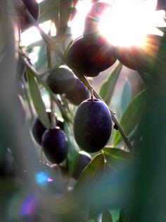 10th November Olives harvest