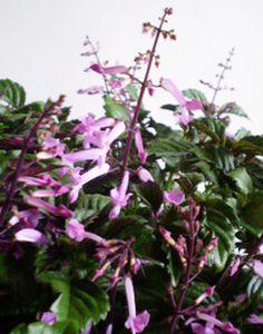 ametista, ou Plectranthus