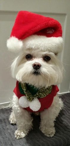 Merry Christmas from Santa Paws 🐾❤️️ Maltese Christmas Animals, Christmas Cats, Merry Christmas, Christmas Puppy, Cute Puppies, Cute Dogs, Dogs And Puppies, Animal Pictures, Cute Pictures