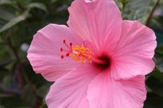 Hibiscus in bloom, j