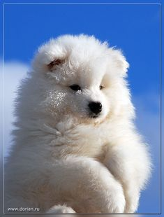 Samoyeds are the fluffiest things to walk this planet.  21 Reasons Why Samoyeds Are Perfect Clouds Of Joy