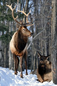 Many people believe that there is a magical formula for home decoration. Cow Elk, Elk Pictures, Interesting Animals, Elk Hunting, Animal Games, Fine Art Gallery, Pet Birds, Mammals, Moose
