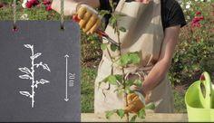 Bouturage du rosier : technique et période (+ conseils vidéo)