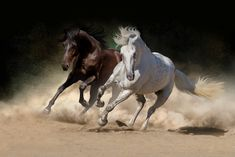 White and bay horse. Two andalusian horse in desert dust against dark background , Beautiful Horse Pictures, Beautiful Arabian Horses, Most Beautiful Horses, All The Pretty Horses, Painted Horses, Bay Horse, Horse Artwork, Andalusian Horse, Horse Drawings