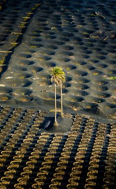- Islas A palm tree (Phoenix canariensis) receives some sun light in the wine area of La Geria on Lanzarote. The winegrowers plant the vine in holes or build a small wall in a half circle to protect the plants from the strong trade winds. Tenerife, Reisen In Europa, Photos Voyages, In Vino Veritas, Spain And Portugal, Canario, Canary Islands, Lush Green, Holiday Destinations