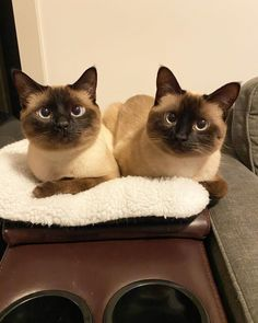 Siamese Kittens, Cats And Kittens, Animals And Pets, Cute Animals, Siamese Dream, Seal Point Siamese, Tonkinese, Himalayan Cat, Secret Life Of Pets