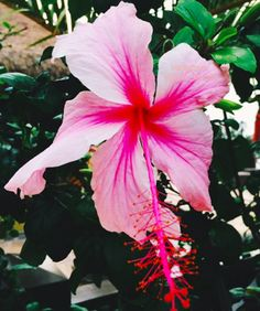 pink hibiscus | tropical plants