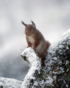 Red Squirrel - Hurry up and take the photo, I am freezing my nuts off here! by Margaret J Walker, via Flickr