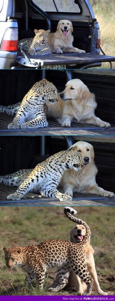 Cheetah and Dog Best Friends