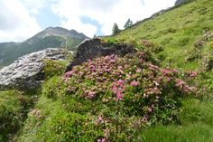 Alpenrosen Wanderung im Zillertal Hintertux