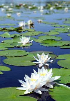 Summer lake with water-lily flowers on blue water. Free art print of Summer lake with water-lily flowers. Water Flowers, Flowers Nature, Exotic Flowers, Flowers In Hair, Beautiful Flowers, Lotus Flowers, Draw Flowers, Flowers Garden, Blue Flowers