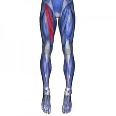 Adductor Magnus Muscle: Groin, Pelvic and Thigh Pain