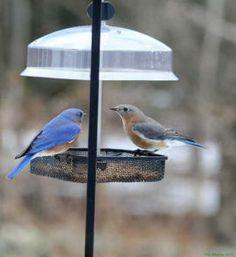 Farmington, CT - Attracting Bluebirds - A Stroll on the Land! Bird House Feeder, Bird Feeders, Bluebirds, Connecticut, Bird Houses, Outdoor Decor, Ideas, Birdhouses, Nesting Boxes