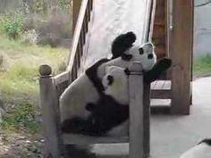 Pandas. On a slide.