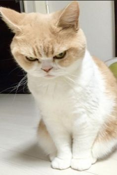 She's Not Mad. This Cat Just Has A Perpetual Disapproving Look On Her Face  #Cats #Pets #Cute