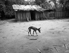 © Fausto Giaccone. South America / Colombia / Magdalena / skeletal a little dog in a banana plantation near Aracataca, the Macondo in One Hundred Years of Solitude.