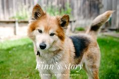 Finn's Rescue Story by Photo Lab Pet Photography | Pretty Fluffy -- On Jan 21, 2014, Sonoma Humane Society was called upon to rescue 63 Finnish Lapphunds. 61 of the dogs had been confined in squalor, were in poor health and had little exposure to human contact. Two more pups were born at the shelter, turning 61 into 63. Eager to make sure the dogs found happy new homes, they carefully matched each dog to a new family. 9 year old Finn was one of these pups. Click through to read his story...