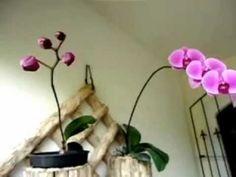 Orquídea Phalaenopsis lilás em botão e flor (coleção de Dr. Luiz Borges - Castelo - ES) - YouTube