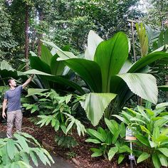 You'll feel like Alice in Wonderland next to this Joey palm (Johannesteijsmannia altifrons), whose huge, beautiful leaves appear to spring right from the ground. (The trunk is subterranean.) Stems can reach up to 10 feet long. Spotted at Singapore Botanic Gardens./