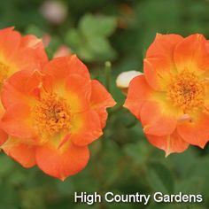 """Rosa Oso Easy™ 'Paprika' Paprika Shrub Rose  18-24"""" x 24"""" wide. This new, low growing shrub rose is a garden standout, blooming all season with abundant reddish-orange flowers with bright yellow centers. This rose's small size and even mounding habit make it a natural for use in perennial beds, along walks and for informal hedges.  Zones 5-9."""