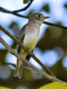 Brown-streaked Flycatcher(Muscicapa williamsoni)