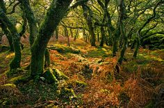Enchanted forest in Dartmoor, Devon, England - my grand-uncle used to live in Devon - absolutley loved our time there