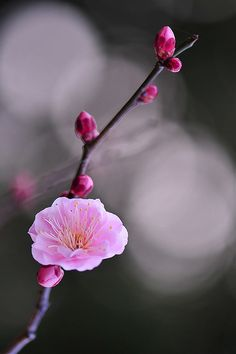 http://www.flickr.com/photos/sakura-kame/3273479763/  #pink #blossom #branch #photography #nature