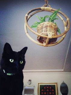 hanging plants, rattan + kitties. Essential ingredients for any self-respecting jungalow.
