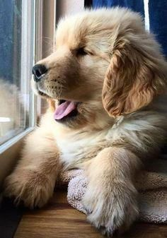 Dog Supplies Lhasa Apso Puppy Ideas For Puppies Cute Animals In 2020 Cutest Puppy Ever Lhasa Apso Puppies Puppies