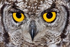 stock-photo-7090635-spotted-eagle-owl.jpg (380×253)