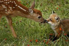 La rencontre d'un faon avec un jeune renard . Love it! A baby deer and baby fox meet in a field *cuteness*