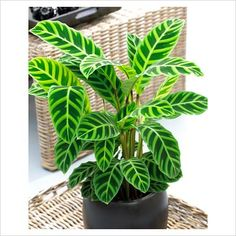 Calathea 'Zebrina'…Indoor plant this is a nice plant