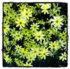 Moonbeam Coreopsis  ~ See the Plant Information Index for more details at kieferlandscaping.com
