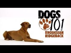 Bucket list item: train a Rhodesian Ridgeback in Search and Rescue Rhodesian Ridgeback, Vizsla, Mobile Vet, Funny Animals, Cute Animals, Dogs 101, Scottish Fold, Search And Rescue, Losing A Dog